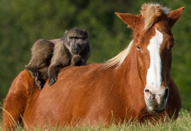 Shio Monyet dan Kuda