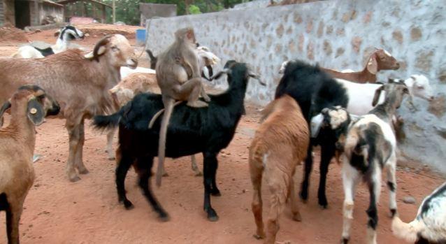 Shio Kambing dan Monyet