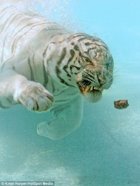 Demi Makanan Apapun Juga Dilakukan Oleh Harimau Putih Sains Galeri
